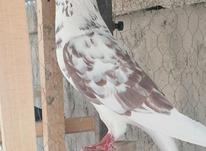 کبوتر پرشی در شیپور-عکس کوچک