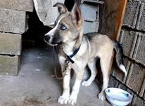 سگ هاسکی دورگه در شیپور-عکس کوچک