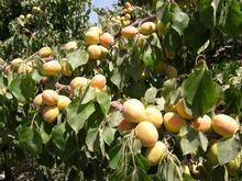 باغ 760 متری با درختان متنوع روستای کرمجگان در شیپور