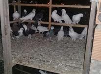 فروش کبوترپروازی در شیپور-عکس کوچک