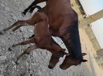 اسب مادیان وکره ماده دوماهه در شیپور-عکس کوچک