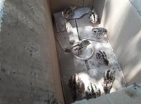 جوجه قرقاول 3 روزه در شیپور-عکس کوچک