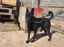 سگ ژرمن نر بلک در شیپور-عکس کوچک