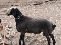 گوسفند نر تخمی قوچ استثنایی نژاد شال قزوین در شیپور-عکس کوچک