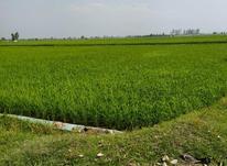 فروش زمین کشاورزی 7000 متر در فریدونکنار در شیپور-عکس کوچک