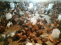 جوجه گلپایگان 30 روزه در شیپور-عکس کوچک