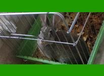 خرگوش طوسی با قفس در شیپور-عکس کوچک