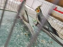 فنج مرغ عشق عروس هلندی جفت سرلاکی مرغ عشق در شیپور-عکس کوچک