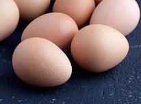 فروش تخم نطفه دار مرغ شاخدار یا سیساک در شیپور-عکس کوچک
