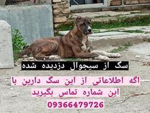 سگ ماده گم شده در شیپور