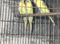 فوری دوعدد مرغ عشق ماده فقط معاوضه در شیپور-عکس کوچک