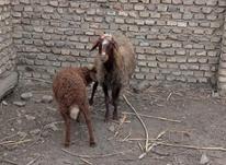 گوسفند با بره در شیپور-عکس کوچک