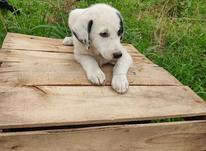 توله سگ محلی دورگ در شیپور-عکس کوچک