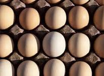تخم مرغ نطفه دار لاری دورگه در شیپور-عکس کوچک