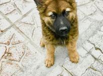 سگ ژرمن شیپرد شولاین در شیپور-عکس کوچک