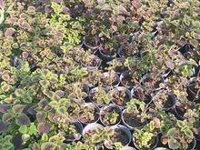 فروش عمده گل و گیاه و نهال درختان میوه استوایی و گرمسیری در شیپور