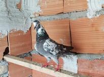 کبوتر قاره سبز نر در شیپور-عکس کوچک