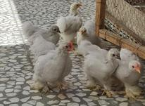 جوجه کوشین سرحال در شیپور-عکس کوچک