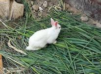 خرگوش بالغ فروشی در شیپور-عکس کوچک