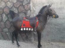 اسب نریان فروشی در شیپور