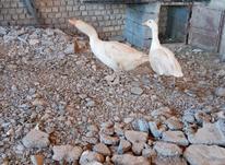 یک جفت غاز محلی که سالی 3 بار کرچ میشود در شیپور-عکس کوچک
