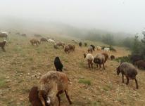 20 راس گوسفند دو رگ ترکمنی قابل فروش در شیپور-عکس کوچک