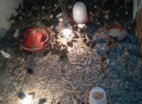 جوجه قرقاول آمریکایی در شیپور-عکس کوچک