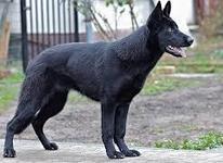 فروش سگ نگهبان اصیل در شیپور-عکس کوچک