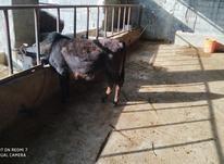 قربانی دو دندان نزاییده چاق چاق در شیپور-عکس کوچک