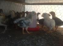 جوجه محلی بیست وپنج روزه در شیپور-عکس کوچک