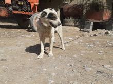سگ 4ساله گوسفندی و ادمی در شیپور