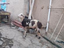 قوچ یک ساله در شیپور