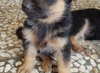 سگ ژرمن( شپرد ) در شیپور-عکس کوچک