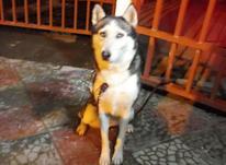 سگ هاسکی زیبا در شیپور-عکس کوچک