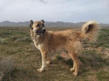 ماده سگ 10 ماهه هنوز نزاییده در شیپور