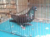 کبوتر پرشی نر در شیپور-عکس کوچک