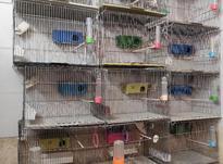 10تا قفس جفت خوان و یک جوجه پران در شیپور-عکس کوچک