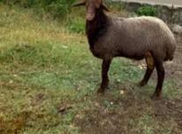 گوسفند نر افشاری در شیپور-عکس کوچک