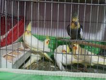 طوطی عروس هلندی در شیپور