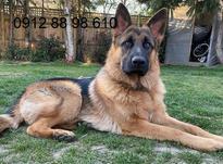 سگ ژرمن شولاین مو کوتاه در شیپور-عکس کوچک
