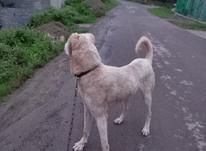 سگ حرص بالا جوان در شیپور-عکس کوچک