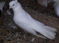 کبوتر سفید چشم سفید در شیپور-عکس کوچک