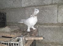 کبوتر نر کله برنجی در شیپور-عکس کوچک
