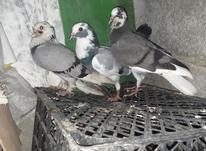 کبوتر ابلاغ جفت در شیپور-عکس کوچک