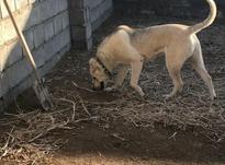 دوقلاده سگ عراقی وسرابی در شیپور-عکس کوچک