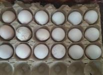 تخم مرغ لاری افغان در شیپور-عکس کوچک
