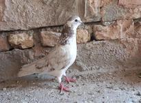 کبوتر نر ساعتی در شیپور-عکس کوچک