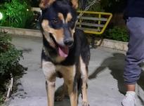 سگ ژرمن هاسکی در شیپور-عکس کوچک