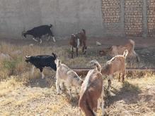 فروش چندراس بز در شیپور