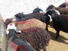گله فروشی جوان جوان بز و گوسفند در شیپور